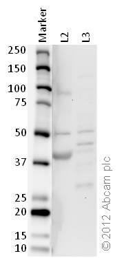 Western blot - Anti-IDH2 antibody (ab84726)