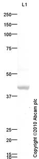 Western blot - Bone Sialoprotein antibody (ab84787)