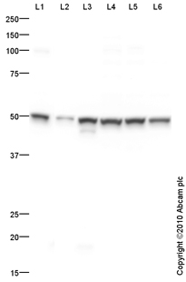 Western blot - EDG2 antibody (ab84788)