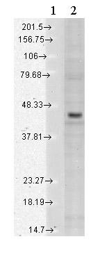 Western blot - KIR2.3 antibody [S25-35] (ab84822)