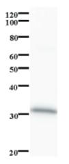 Western blot - CCNB1IP1 antibody [2114C2a] (ab84850)