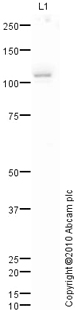 Western blot - TLR3 antibody (ab84911)