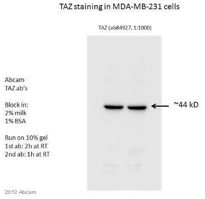- Anti-TAZ antibody (ab84927)