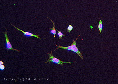 Immunocytochemistry/ Immunofluorescence - Anti-Collagen I antibody (ab84956)