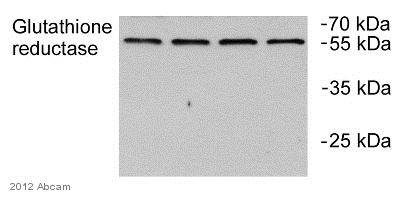 - Anti-Glutathione Reductase antibody (ab84963)