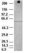 Western blot - AKT3 antibody [9B2] (ab84985)