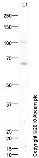 Western blot - NSMase2 antibody (ab85017)