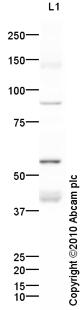 Western blot - Monocarboxylic acid transporter 1 antibody (ab85021)