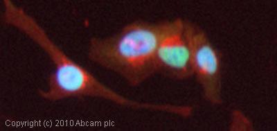 Immunocytochemistry/ Immunofluorescence - Topoisomerase I antibody (ab85038)