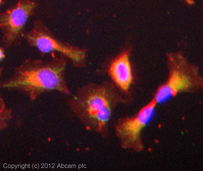 Immunocytochemistry/ Immunofluorescence - Anti-FGF19 antibody (ab85042)