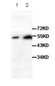 Western blot - LEF1 antibody (ab85052)