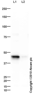 Western blot - Wnt1 antibody (ab85060)