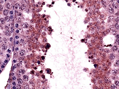 Immunohistochemistry (Formalin/PFA-fixed paraffin-embedded sections) - Anti-Argonaute 4 antibody (ab85077)