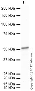 Western blot - Anti-ENO1 antibody (ab85086)