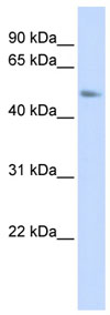 Western blot - C15ORF27  antibody (ab85100)
