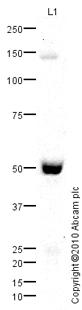 Western blot - Tissue Factor antibody (ab85145)