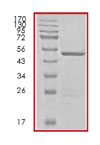 SDS-PAGE - ERAB protein (Tagged) (ab85241)