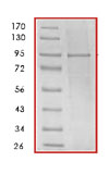 SDS-PAGE - Hsp90 alpha protein (His tag) (ab85242)