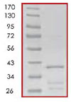 SDS-PAGE - eIF4EBP1 protein (Tagged) (ab85248)