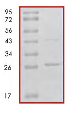 SDS-PAGE - 14-3-3 alpha + beta protein (Human) (ab85273)