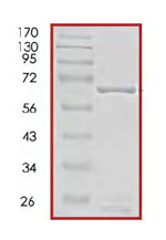 SDS-PAGE - PBK protein (Active) (ab85275)