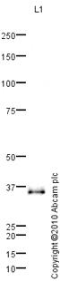 Western blot - Apolipoprotein E  antibody (ab85311)