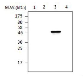 Western blot - TCPTP antibody [T25-AF3B7] (ab85330)