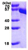 SDS-PAGE - DOPA Decarboxylase protein (His tag) (ab85332)