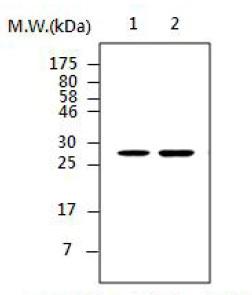 Western blot - Calretinin antibody [AF5D11] (ab85337)
