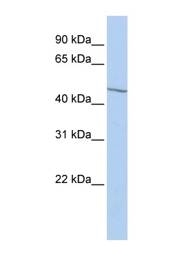 Western blot - eIF3e antibody (ab85397)