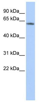 Western blot - KCNG4 antibody (ab85403)