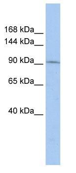 Western blot - TAF3 antibody (ab85419)