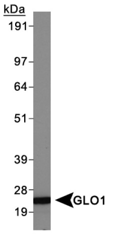 Western blot - GLO1 antibody [Glo1a] (ab85420)