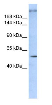 Western blot - ZNF407 antibody (ab85427)