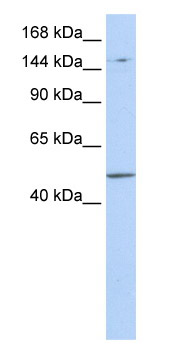 Western blot - PRDM15 antibody (ab85431)