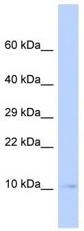 Western blot - Sumo 3 antibody (ab85442)