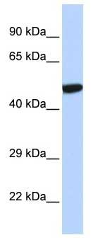 Western blot - PXR antibody (ab85451)