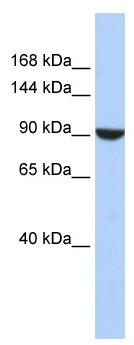Western blot - PWP2H antibody (ab85482)