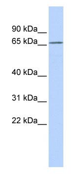 Western blot - KCNG1 antibody (ab85509)
