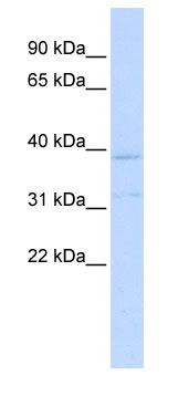 Western blot - KCNK15 antibody (ab85511)