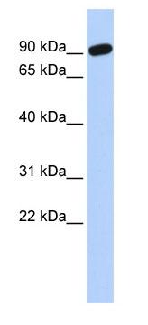 Western blot - ZNF132 antibody (ab85515)