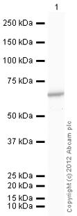 Western blot - Anti-PKM2 antibody (ab85542)