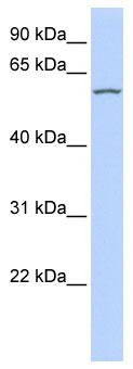Western blot - RBPSUHL antibody (ab85568)
