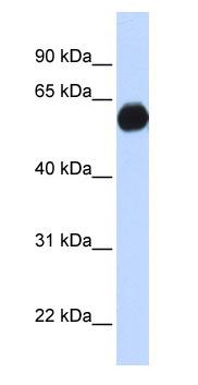 Western blot - AKAP1 antibody (ab85588)