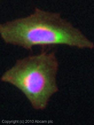 Immunocytochemistry/ Immunofluorescence - LRPAP1 antibody (ab85591)
