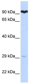Western blot - SUV3L1 antibody (ab85598)