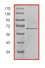SDS-PAGE - Cdk9 protein (Tagged) (ab85603)