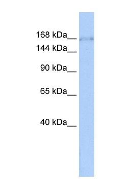 Western blot - ZNF608 antibody (ab85628)