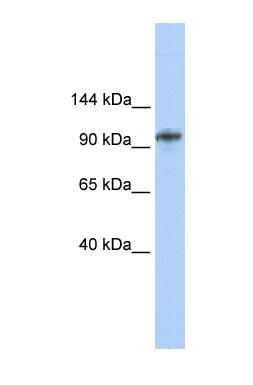 Western blot - BBX antibody (ab85629)