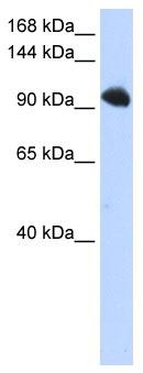 Western blot - SFRS8 antibody (ab85641)